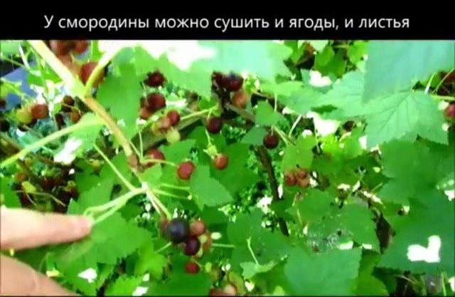 Листья и ягоды смородины